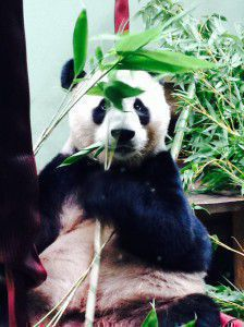Yang Guang the giant panda at Edinburgh Zoo
