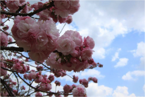 Sakura (Cherry Blossom) season, Tokyo